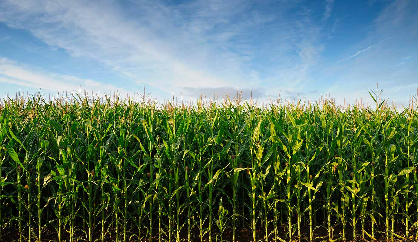 A field of corn stalks