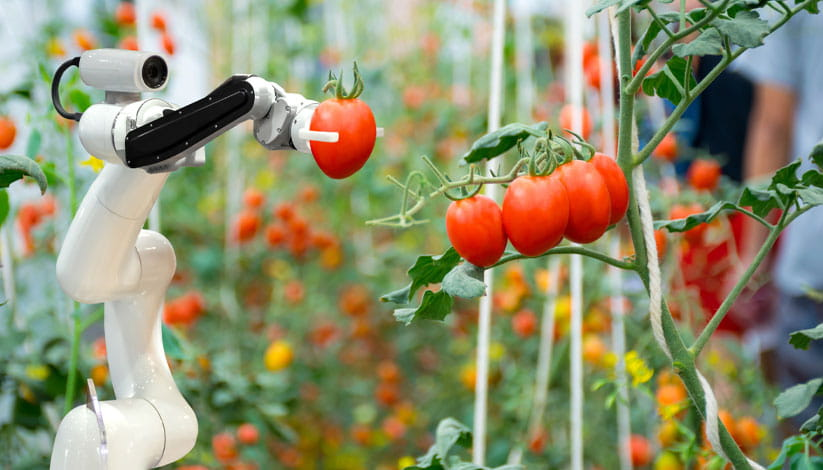 Robotic technology picking tomatoes