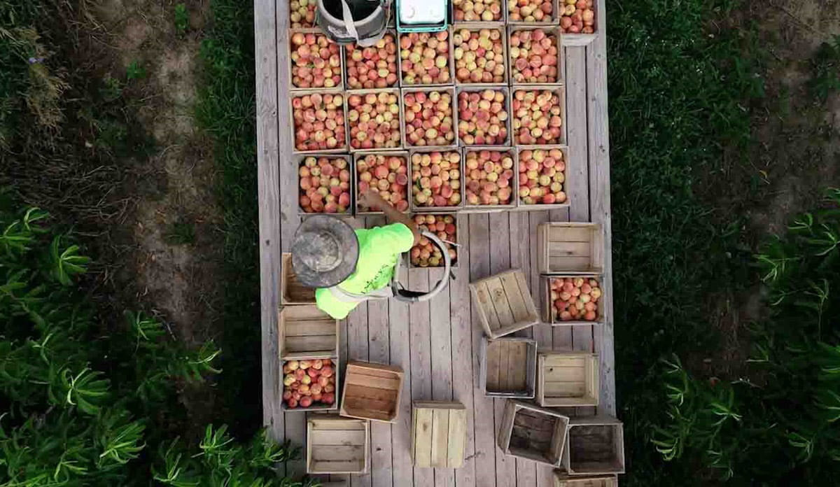 Ariel view of peaches in crates