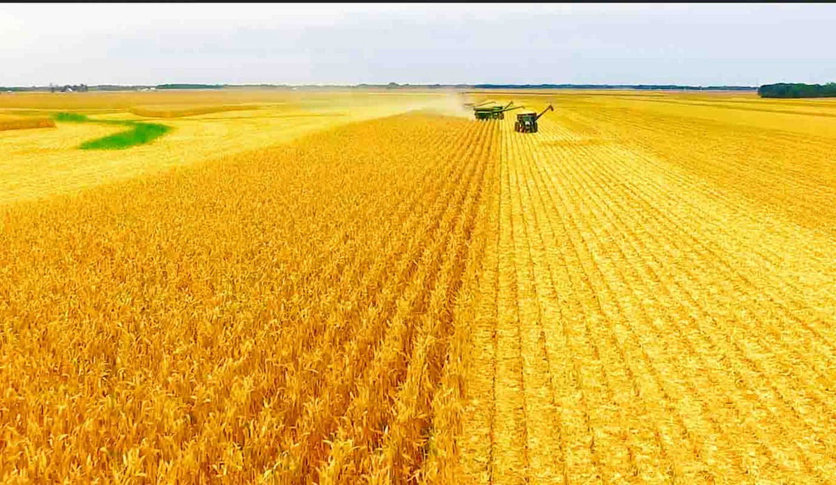 A field of grain with two combine harvesters